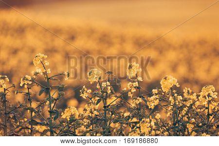 Canola Flowers, Colza. Rapeseed Flowers. Vintage Toning