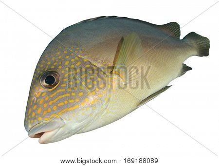 Sea fish isolated on white background. Gold-spotted Sweetlips