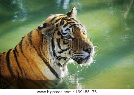 Detail of a tiger - panthera tigris - bathing in a refreshing water