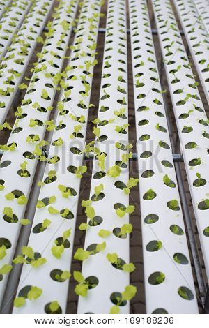 Hydroponic lettuce farm in green house show agriculture concept
