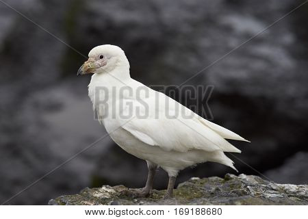 Pale-faced Sheathbill (Chionis albus) walking along the cliffs of Bleaker Island in the Falkland Islands.