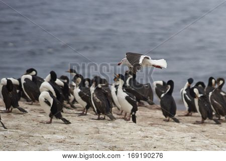 Dolphin Gull (Leucophaeus scoresbii) flying over a large group of Imperial Shag (Phalacrocorax atriceps albiventer) on the coast of Bleaker Island on the Falkland Islands