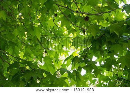view from the grounds of bright green leaves of the tree sycamore