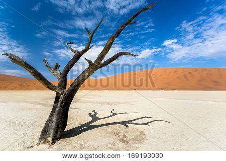 old acacia tree in the dead valley landscape, Sossusvlei, Namibia
