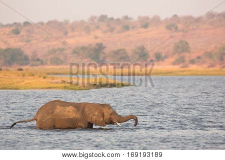 young male elephant crossing the Chobe River in shallow water, Chobe National Park, Botswana