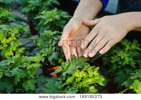 commercial cultivation houseplants in a greenhouse. female hands taking care of plant close-up