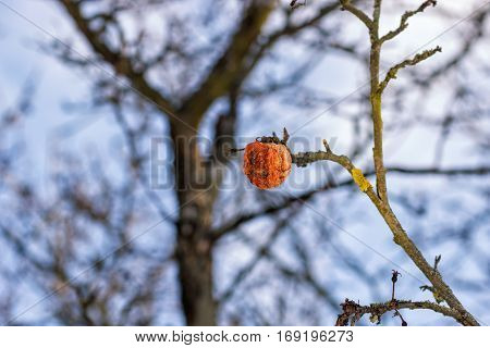 An old rotten apple hanging on a branch with a dried up leaf on a late winter day