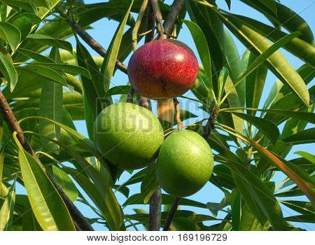 One Red and a Pair of Green Fruits of the Pong-Pong Tree with Bunch of Green Leaves under Vivid Blue Sky