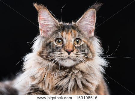 Portrait of domestic tortoiseshell Maine Coon kitten. Fluffy kitty isolated on black background. Close-up studio photo adorable curious young cat looking at camera.
