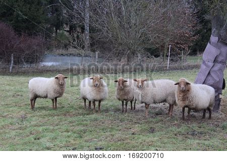 A herd of Coburger Landschaffe, consisting of five animals, enjoy the cold, sunny winter day in their dense ocher brown to the champagne-colored warm wool fur with its narrow cinnamon browns, golden brown tinted heads,