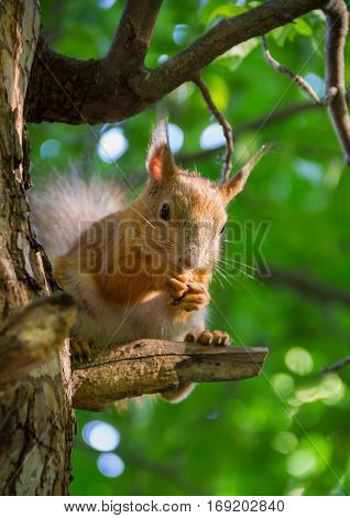 large red squirrel sitting on a branch of pine in the forest sunny summer afternoon and nibbles nuts
