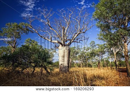Baobab at the Kimberleys - Western Australia