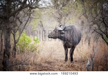 Cape buffalo in a clearing. Kruger region of South Africa. The buffalo is one of the Big Five animals of South Africa
