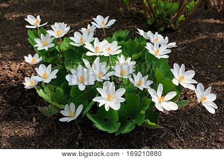 Sanguinaria canadensis, know as  bloodroot, is a perennial, herbaceous flowering plant grown in the home garden but a plant that is native to eastern North America.