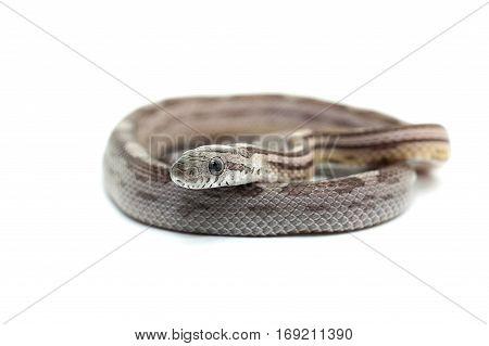 macro reptile snake isolated on white background
