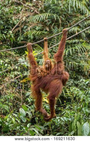 Female orangutan hanging with a baby on the rope in Semenggoh Nature Reserve, Sarawak, Borneo, Malaysia
