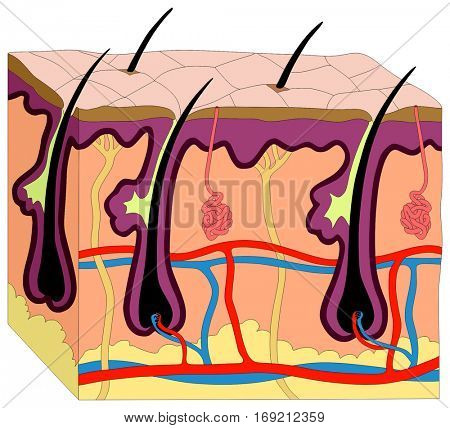Human Skin Anatomy cross section diagram anatomical figure with all layer epidermis dermis subcutaneous tissue hair follicle shaft artery vein nerve sweat gland cell for medical education