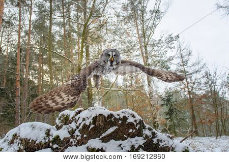 Departure Of Great Grey Owl. Wide Closeup Shot