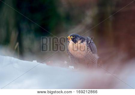 Peregrine Falcon In Magic Colorful Winter Forest