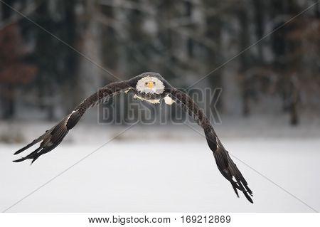 Flying Bald Eagle - Majestic Symbol Of The Usa