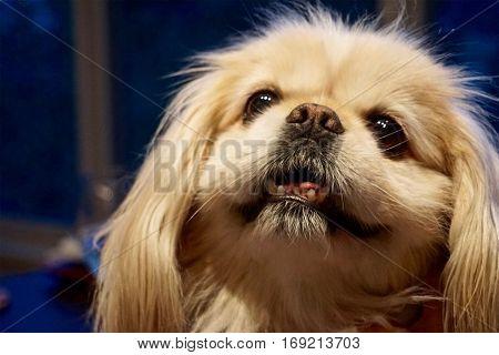 close up of a cute pekinese dog
