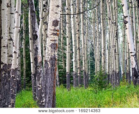 multitude of birch trees in a forest