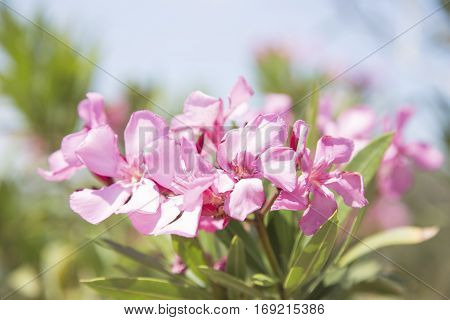 The pink oleander branch close up image