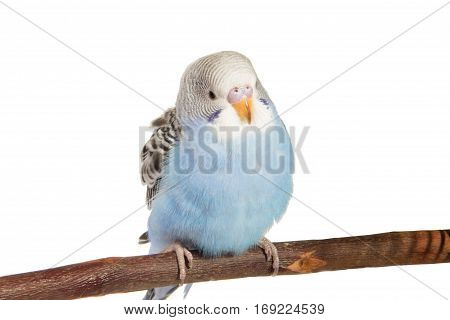 young blue budgerigar in roost on a white background isolated