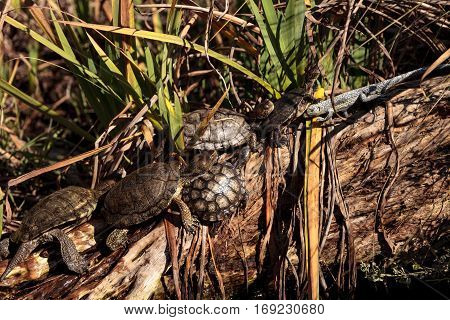 Pacific Pond Turtles Actinemys Marmorata