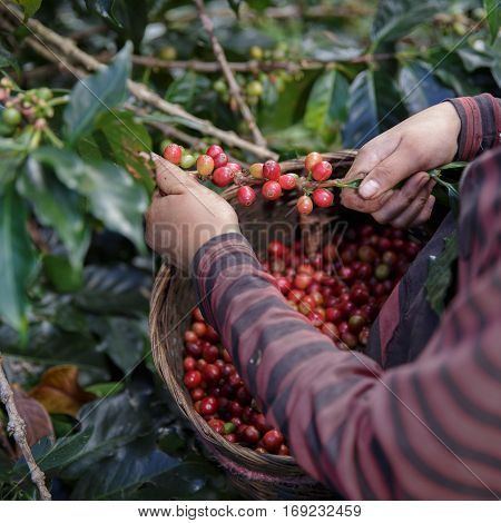 Close Up hand of farmers picking branch of arabica coffee berries red with basket.