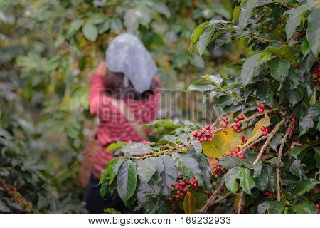 Close up branch of arabica coffee berries red with farmers working at background.