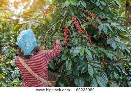 farmers hill picking arabica coffee berries in red and green on its branch tree at plantation