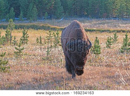 Bison Buffalo Bull walking in the afternoon sun near Canyon Village in Yellowstone National Park in Wyoming USA