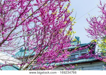 Pink flowers on cercis chinensis or chinese eastern redbud tree against blue sky and pagoda architecture