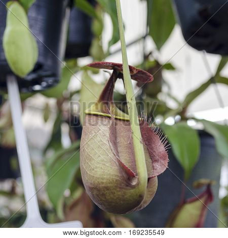 Nepenthes Tropical pitcher plants and monkey cups