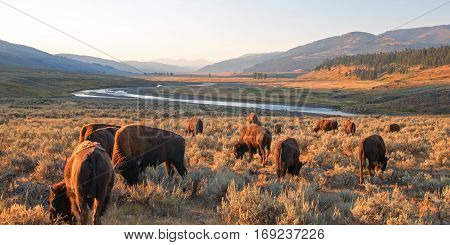 Bison Buffalo Herd at sunrise in Lamar Valley of Yellowstone National Park in Wyoming USA
