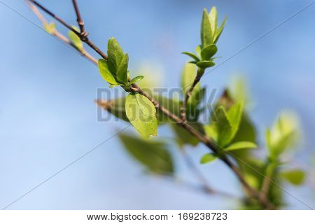 Close up of branch of tree with green leaves on blue sky. Selective focus.