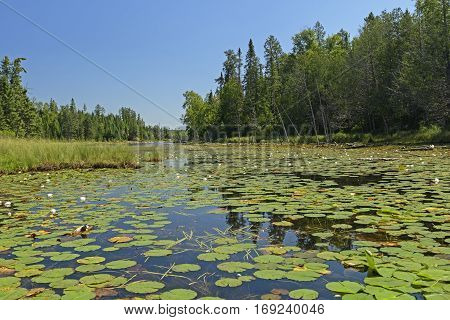 Lily Pads on a Crawford Lake in Quetico Provincial Park in Ontario