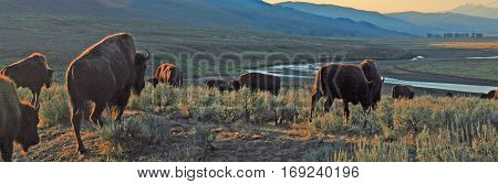 Bison Buffalo herd in early morning sunlight in the Lamar Valley of Yellowstone National Park in Wyoiming USA