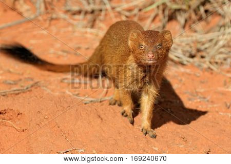 A slender mongoose (Galerella sanguinea) in natural habitat, South Africa