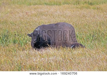 Bison Buffalo Cow and calf in Pelican Creek grassland in Yellowstone National Park in Wyoming USA