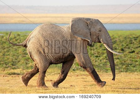 Running African bull elephant (Loxodonta africana), Amboseli National Park, Kenya