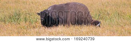 Bison Buffalo Cow and calf in Pelican Creek grassland in Yellowstone National Park