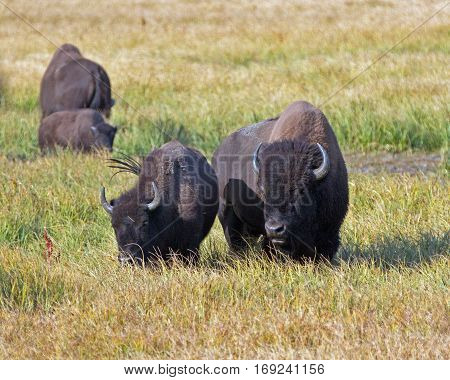 Bison Buffalo Cow and yearling in Pelican Creek grassland in Yellowstone National Park in Wyoming U S A