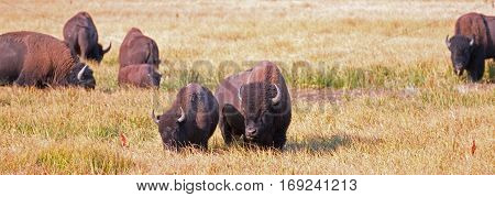 Bison Buffalo Cow and calf in Pelican Creek grassland in Yellowstone National Park in Wyoming US