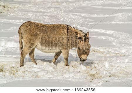 Donkey with bangs searching for food in the snow
