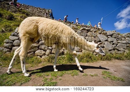 Llama grazes in the ancient city of Machu Picchu, Peru.