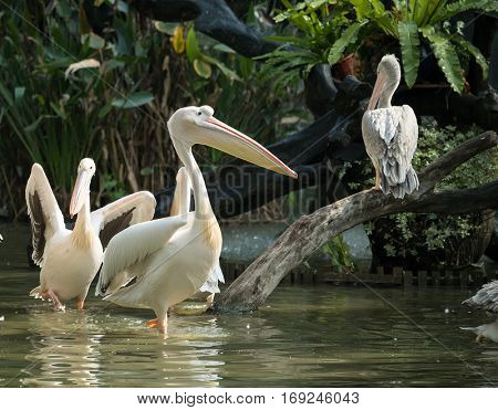 White Pelican in waterland