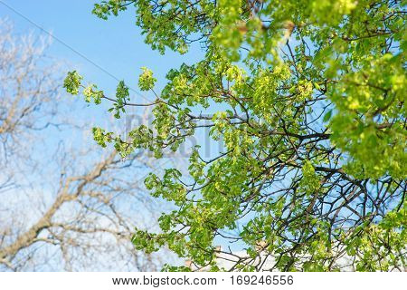 Branch of tree with spring leaves on the bly sky background.