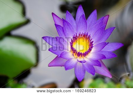 Beautiful purple water lily with green leaves.